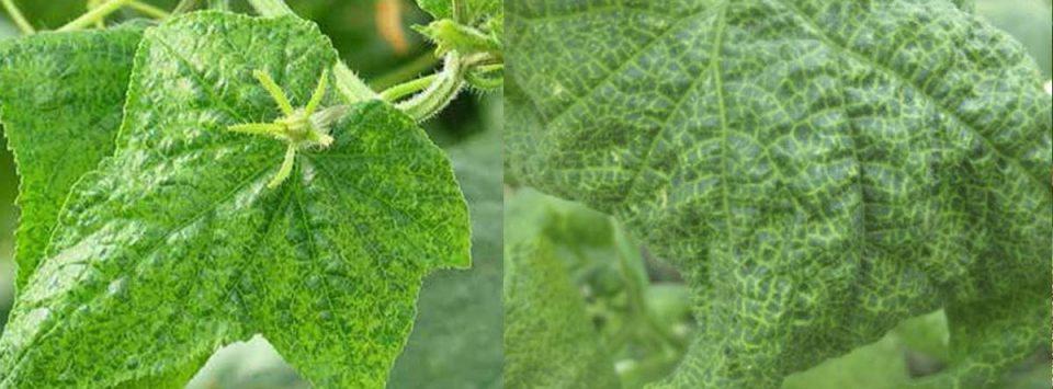 Cucumber-vein-yellowing-virus-بیماری-زردی-رگبرگ-خیار