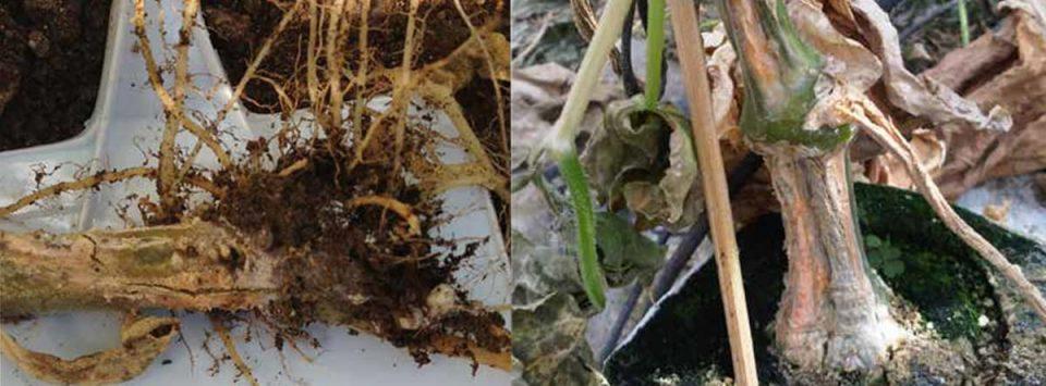 پژمردگی ساقه و ریشه فوزاریومی Fusarium root and stem rot