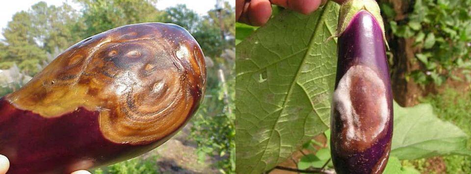 پوسیدگی-میوه بادمجان-Phomopsis-blight