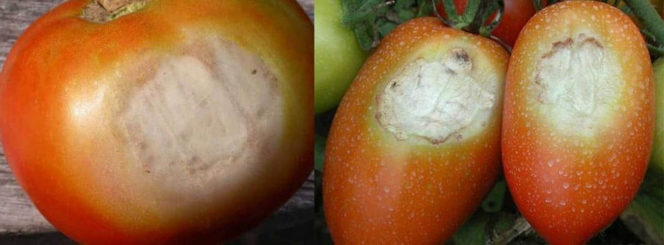 آفتاب-سوختگی گوجه فرنگی-Sunscald
