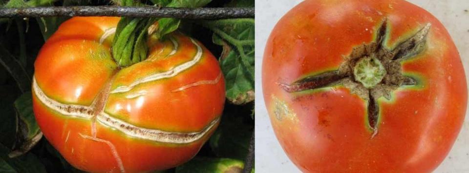 ترک-خوردگی-میوه-گوجه-فرنگی-Growth-crack