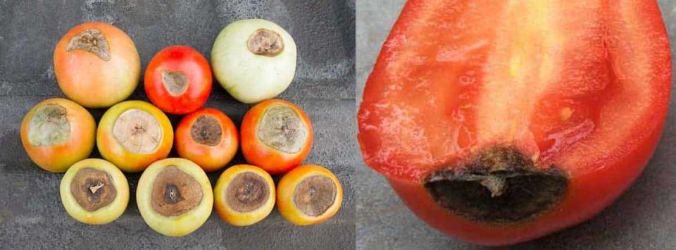 سوختگی-گلگاه-گوجه-فرنگی-Blossom-end-rot-min