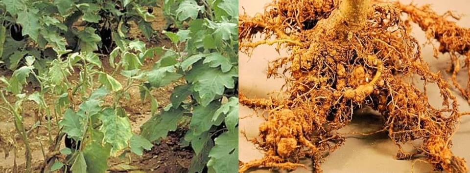 گره-ریشه-بادمجان-Root-knot