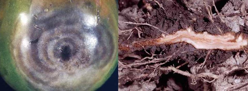 پوسیدگی-ریشه-و-میوه-گوجه-فرنگی