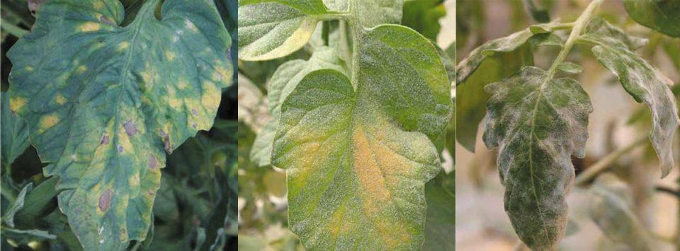 سفیدک-پودری-گوجه-فرنگی-Powdery-mildew