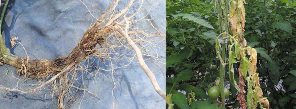 پوسیدگی-ریشه-و-طوقه-فوزاریومی-Fusarium-crown-and-root-rot