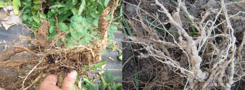 گره-ریشه-Root-knot