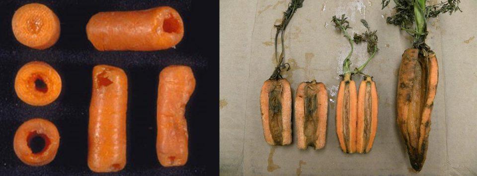 پوسیدگی-نرم-باکتریایی-هویج-Bacterial-soft-rot-of-carrot