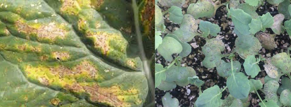 سفیدک-داخلی-گل-کلم-Cauliflower-downy-mildew