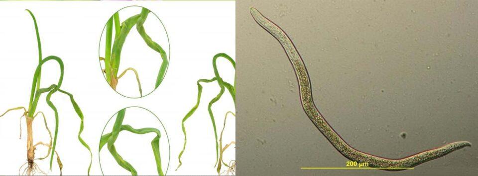 نماتد ساقه و پیاز (stem and bulb nematode)
