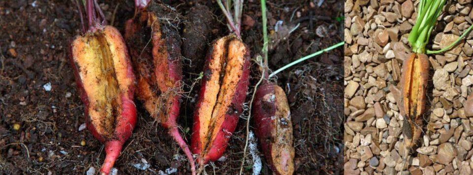 بیماری-شکافتگی-ریشه-هویج-(Root-splitting,-Root-cracking)