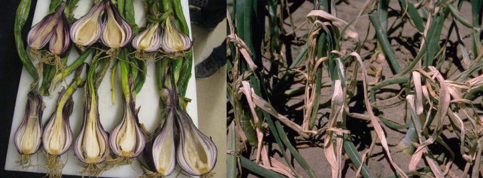 بیماری لهیدگی باکتریایی پیاز Onion bacterial mushy rot