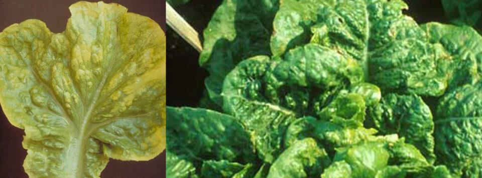 ویروس-موزاییک-کاهو-lettuce-mosaic-virus