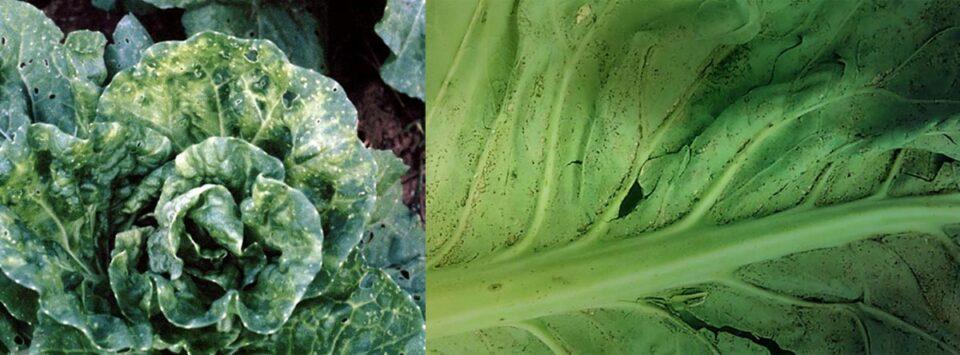 ویروس-موزاییک-گل-کلم-Cauliflower-mosaic-virus)