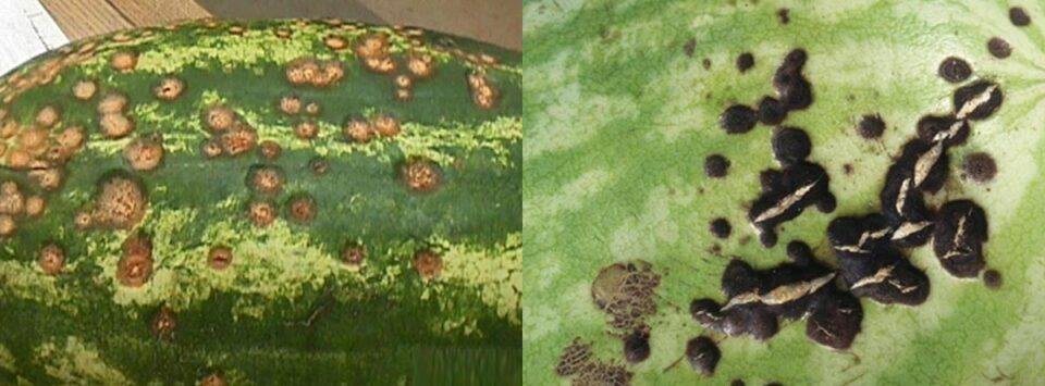 آنتراکنوز-هندوانه-watermelon-Anthracnose
